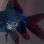 un petit poisson se lance dans une course poursuite effrénée avec un renault capture